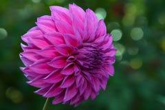 Bello fiore porpora della dalia Fotografia Stock