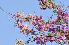 Bello fiore porpora della Tailandia, all'aperto immagini stock