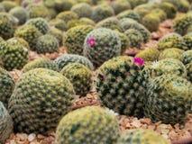 Bello fiore porpora di fioritura del cactus Fotografia Stock