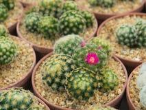 Bello fiore porpora di fioritura del cactus Fotografie Stock Libere da Diritti