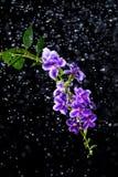 Bello fiore porpora di goccia di rugiada dorata, bacca di piccione immagine stock