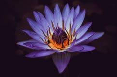 Bello fiore porpora Upclose Fotografia Stock Libera da Diritti