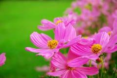 Bello fiore rosa che fioriscono vicino su e fondo dell'albero Fotografia Stock Libera da Diritti
