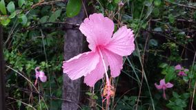 Bello fiore rosa con goccia di pioggia Immagini Stock Libere da Diritti