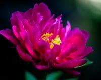 Bello fiore rosa con luce solare che cade sopra  fotografia stock libera da diritti