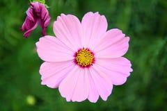Bello fiore rosa dell'universo che fiorisce nel giardino con vago Fotografia Stock