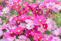 Bello fiore rosa dell'universo in giardino Fotografie Stock Libere da Diritti
