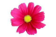 Bello fiore rosa dell'universo isolato su fondo bianco con il percorso di ritaglio fotografia stock