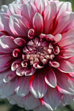 Bello fiore rosa della dalia Immagine Stock Libera da Diritti