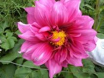 Bello fiore rosa di colore delle specie della dalia immagini stock libere da diritti