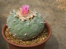 bello fiore rosa di fioritura del cactus Fotografie Stock Libere da Diritti