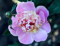 Bello fiore rosa di fioritura fresco della peonia nel giardino Fotografia Stock Libera da Diritti