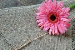 Bello fiore rosa - gerbera fotografia stock