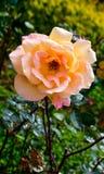 Bello fiore rosa giallo-chiaro in un roseto, Ooty Fotografie Stock