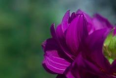 Bello fiore rosa su fondo verde Immagini Stock