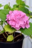Bello fiore rosa in un vaso di fiore Fotografie Stock Libere da Diritti