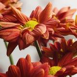 Bello fiore rosso Fotografia Stock