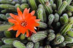 Bello fiore rosso del cactus Fotografie Stock