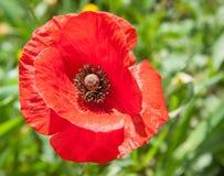 Bello fiore rosso del papavero (rhoeas del papavero) nel Cipro Immagini Stock