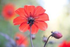 Bello fiore rosso dell'aster della parte con perfetto immagine stock
