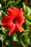 Bello fiore rosso dell'ibisco Fotografia Stock Libera da Diritti