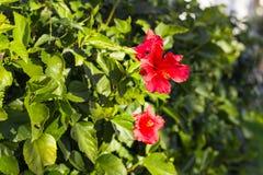 Bello fiore rosso dell'ibisco Fotografia Stock