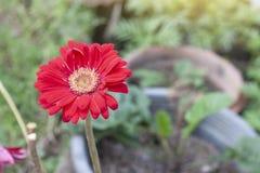 Bello fiore rosso della gerbera con luce solare sul fondo della natura immagine stock