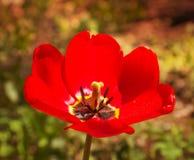 Bello fiore rosso luminoso Immagine Stock