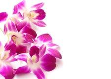 Bello fiore tailandese dell'orchidea Fotografia Stock