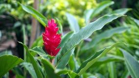 Bello fiore tropicale dello zenzero rosso, fine su Alpinia purpurata Vielle Schum fotografie stock