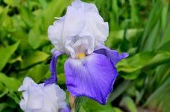 Bello fiore un'iride di alta qualità bicromatica in un giardino Fotografia Stock Libera da Diritti