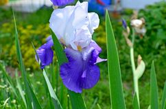 Bello fiore un'iride di alta qualità bicromatica in un giardino Fotografia Stock