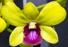 Bello, fiore unico e ed elegante dell'orchidea fotografia stock libera da diritti