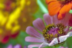 Bello fiore variopinto Immagine Stock Libera da Diritti