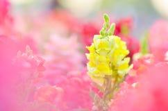 Bello fiore variopinto nel giardino, bella natura fotografie stock libere da diritti