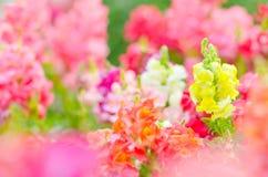 Bello fiore variopinto nel giardino, bella natura Immagine Stock