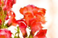 Bello fiore variopinto nel giardino, bella natura immagini stock