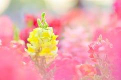 Bello fiore variopinto nel giardino, bella natura fotografia stock libera da diritti