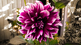 Bello fiore variopinto, seppia Immagini Stock
