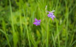 Bello fiore viola Immagine Stock Libera da Diritti