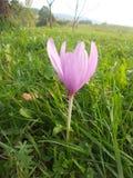 Bello fiore viola del giacimento dello zafferano immagine stock