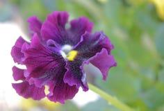 Bello fiore, viole del pensiero bello fondo astratto con Florida Fotografie Stock Libere da Diritti