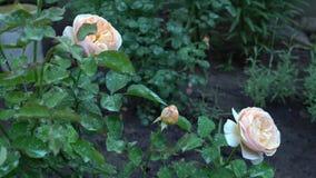 Bello fiorendo le rose rosa e beige in campagna inglese faccia il giardinaggio Fondo verde della natura con il posto per testo video d archivio
