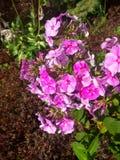 Bello flox di fioritura Fotografie Stock