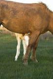 Bello foal con la madre Immagini Stock