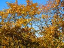 Bello fogliame giallo di autunno Immagine Stock