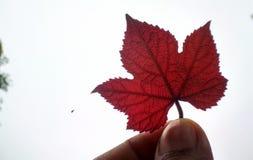 Bello foglio rosso Fotografia Stock