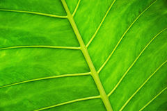 Bello foglio verde Fotografia Stock