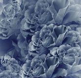 Bello fondo blu d'annata floreale Composizione nel fiore Mazzo dei fiori dalle rose blu scuro Primo piano immagine stock