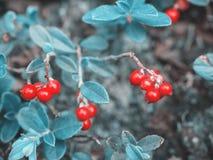 Bello fondo blu naturale favoloso fantastico Rosso maturo c fotografie stock libere da diritti